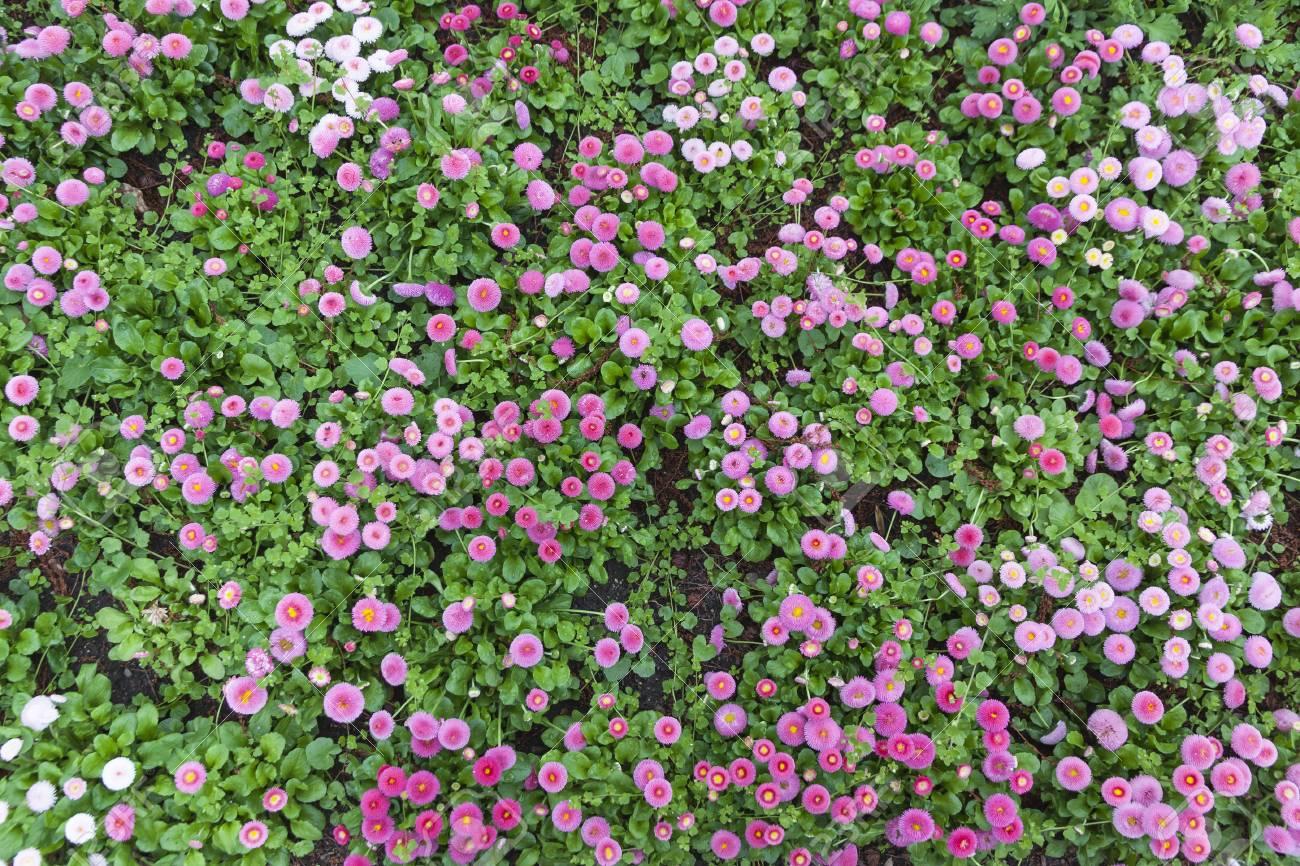 Beautiful natural pattern made of bellis or english daisy flowering beautiful natural pattern made of bellis or english daisy flowering plants stock photo 52885527 izmirmasajfo