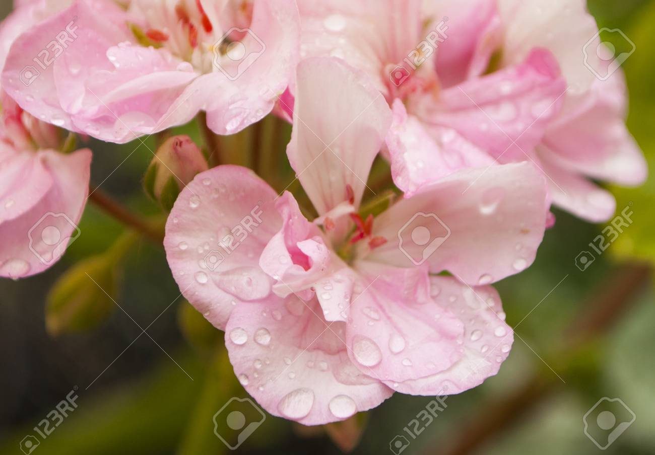 Close Up Of Pink Geranium Flower With Rain Drops Stock Photo