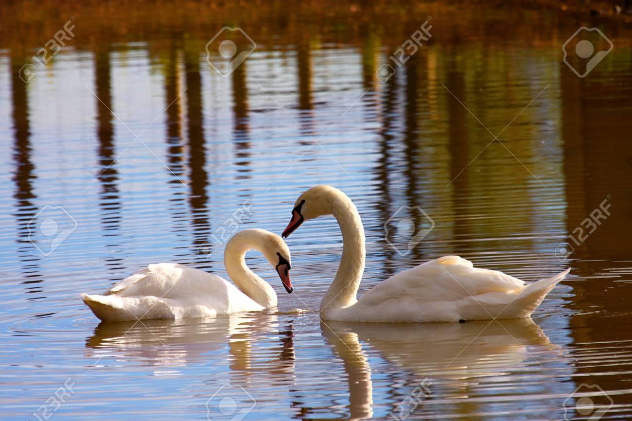 La Belleza Del Cisne En El Lago Pareja Con Refección