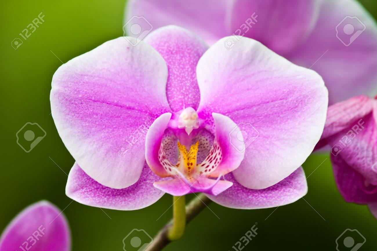beautiful purple orchid Stock Photo - 12013140