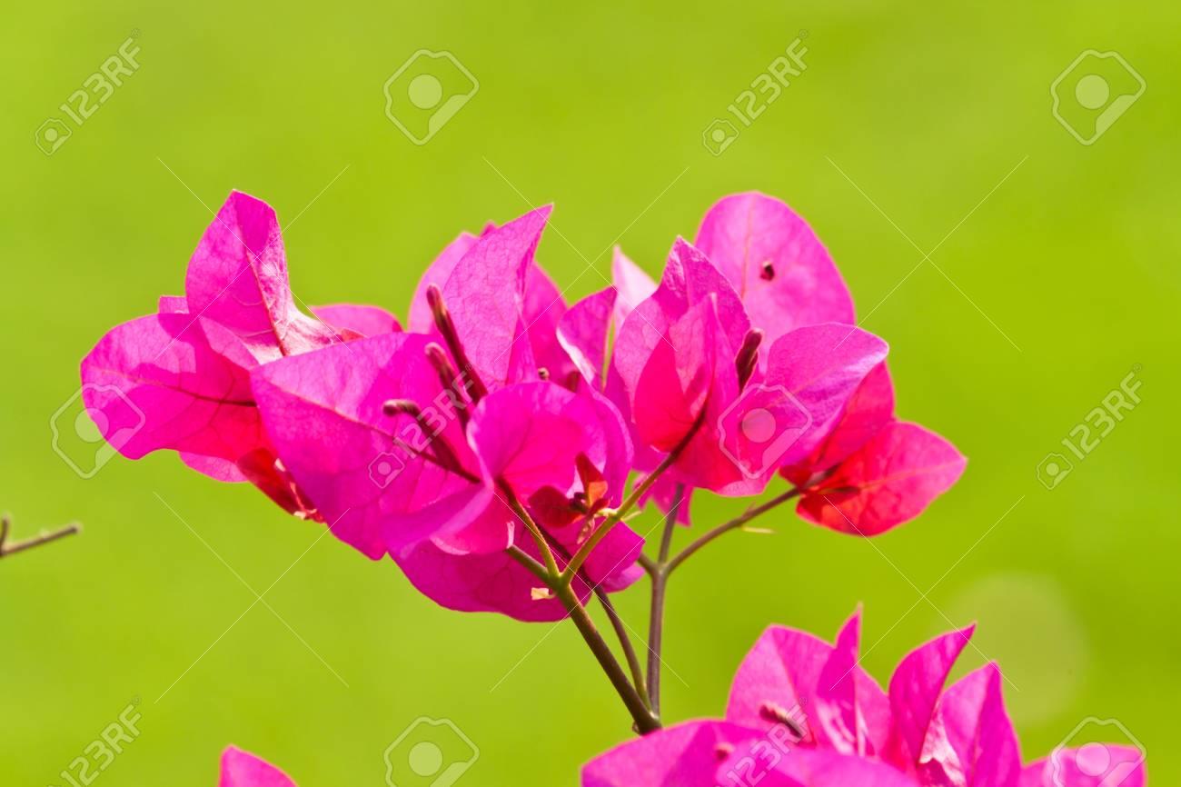 bougainvillea paper flower Stock Photo - 12297506