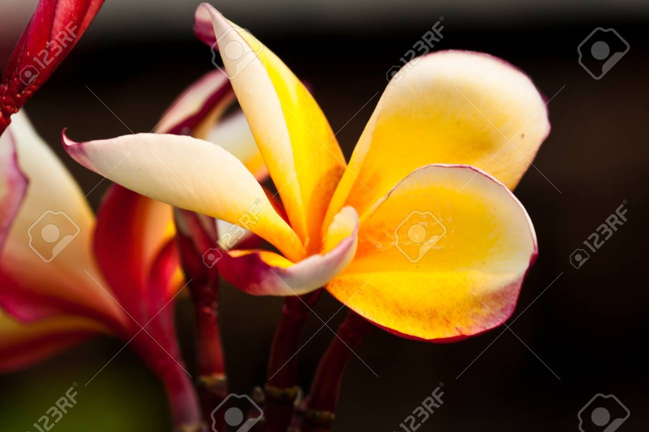 frangipani,Plumeria flowers Stock Photo - 12824137