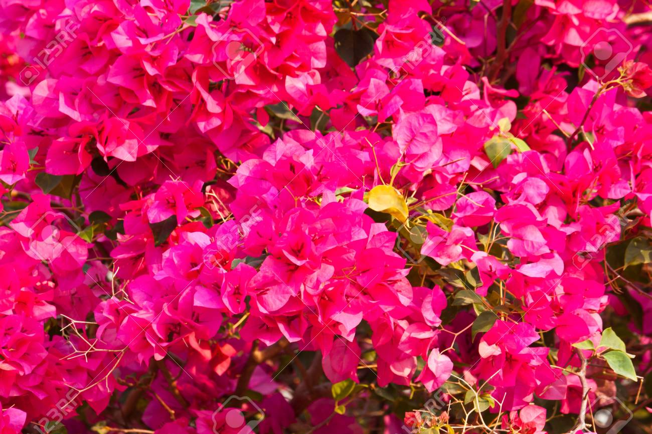 Bougainvillea Paper Flower Stock Photo Picture And Royalty Free