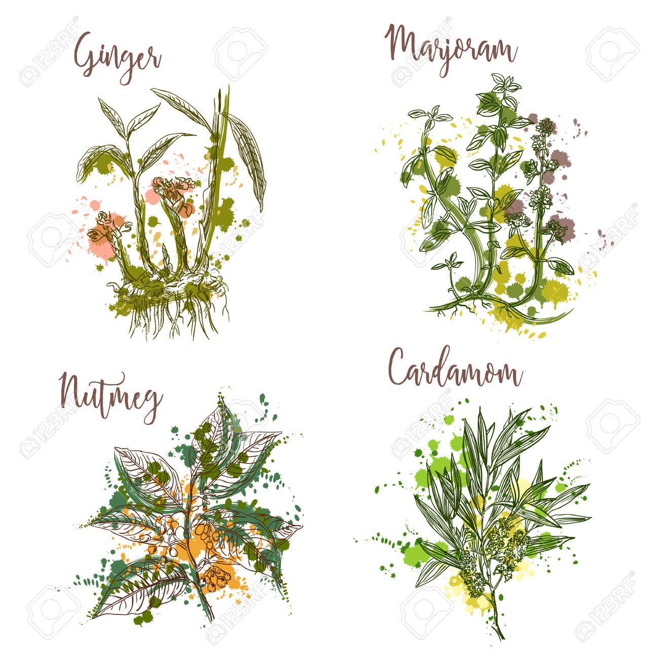 Cooking herbs and spices in watercolor style . Ginger, marjoram, nutmeg, cardamom. Retro hand drawn vector illustration. Retro banner, card, scrap booking, postcard, poster - 56891484