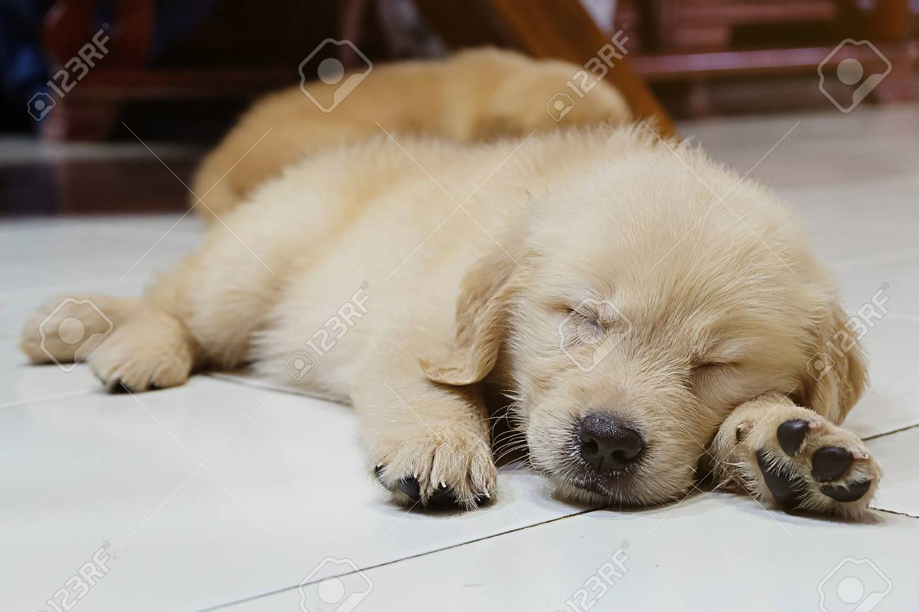 cute sleeping dog, golden retriever puppy stock photo, picture and