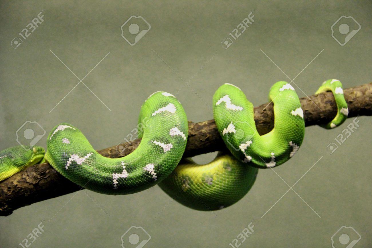 Serpiente Tropical Verde Tumbada Sobre Una Rama De Un árbol Con ...