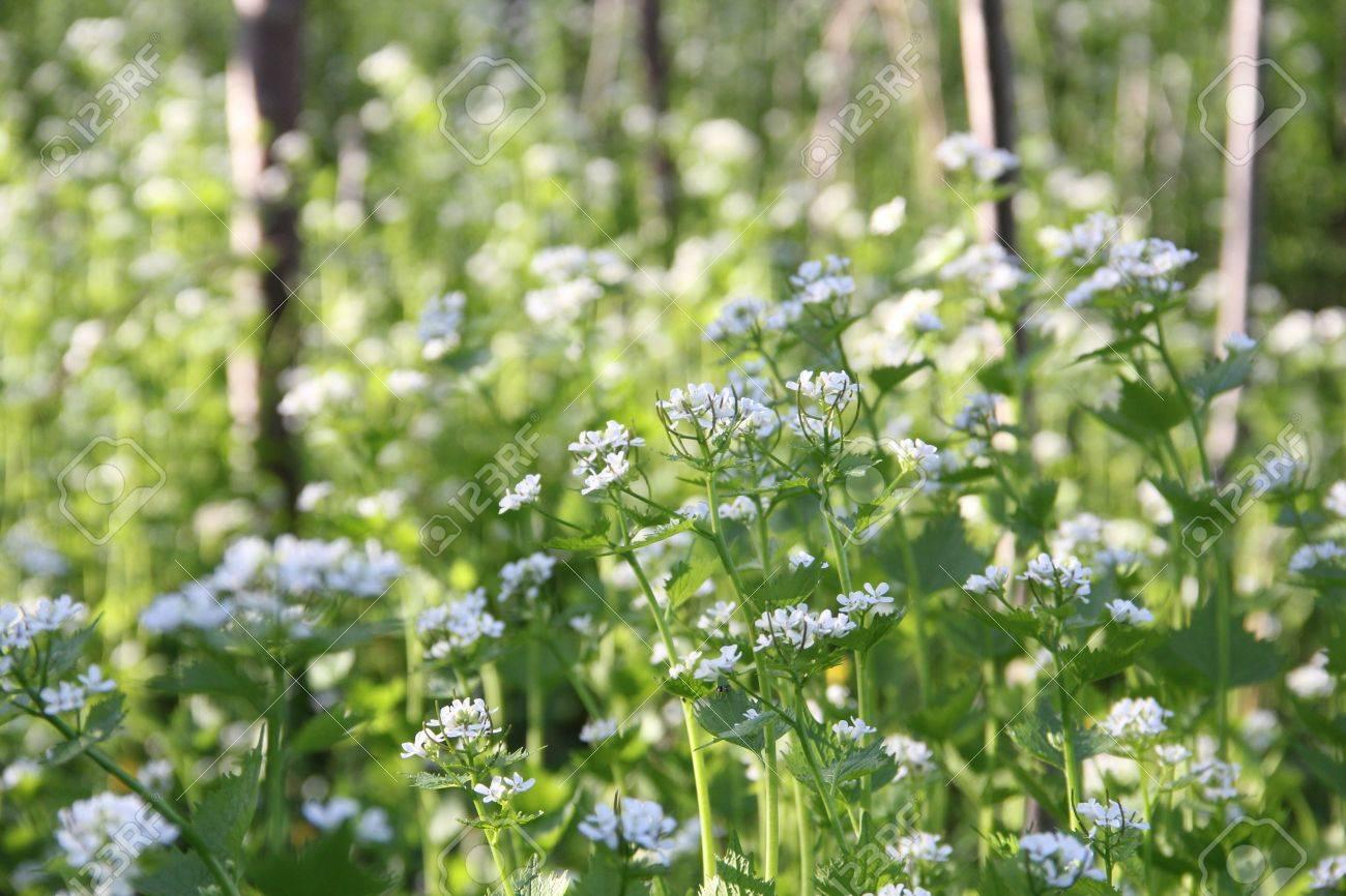 Un Monton De Pequenas Flores Silvestres Blancas Entre Los Arboles