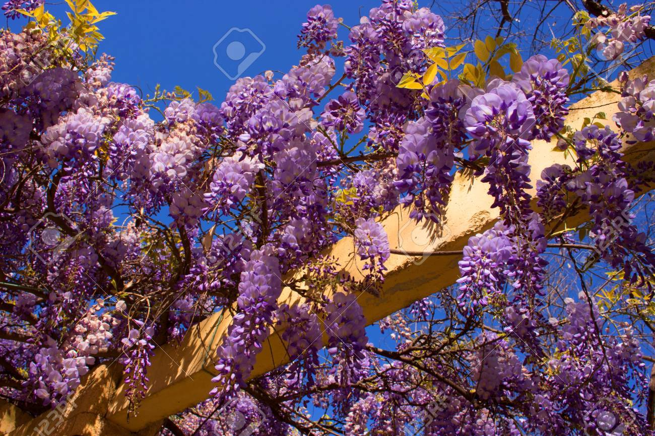 Acacia Beautiful Flowerspark Violet Plant Garden Stock Photo