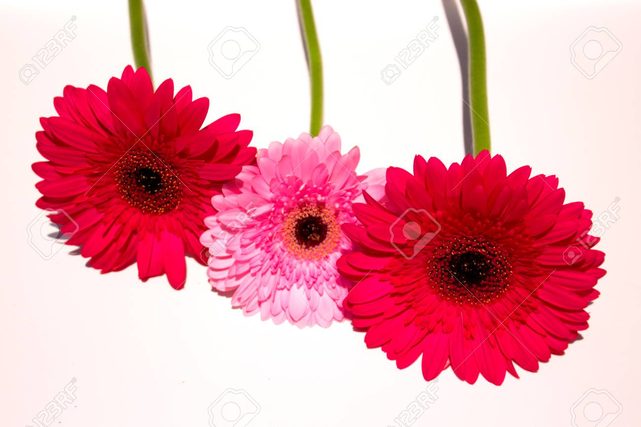 Three Pink Gerbera Daisy Flowers The Image Is Isolated White