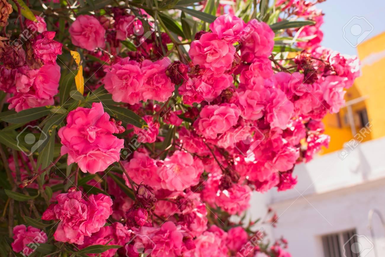 Bush Beautiful Pink Flowers Mediterranean Tropical Plant Stock