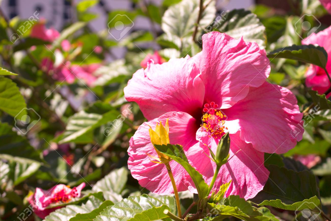 Hibiscus Beautiful Tropical Plant With Pink Flowers Mediterranean
