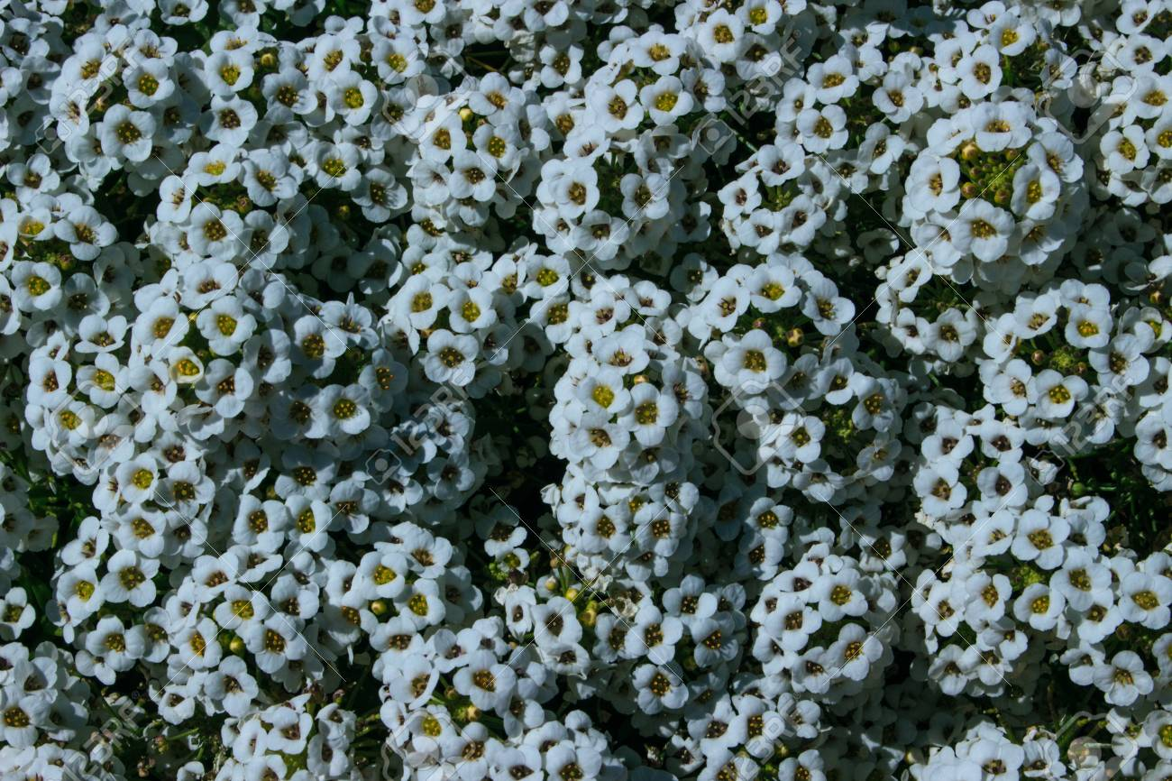 Flowers A Bush With Small White Flowers Stock Photo Picture And