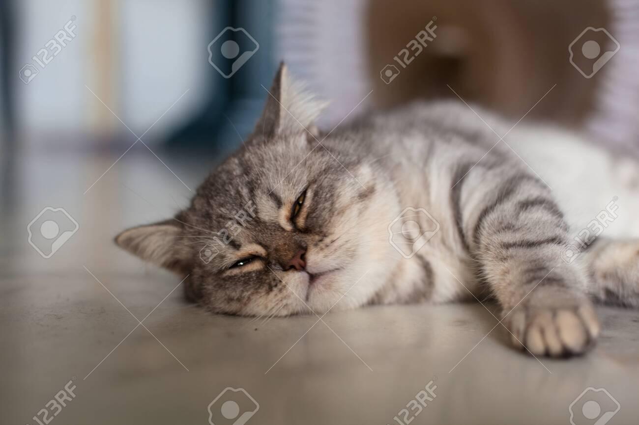 Scottish Straight. Cute cat portrait, happy pet. - 131284435