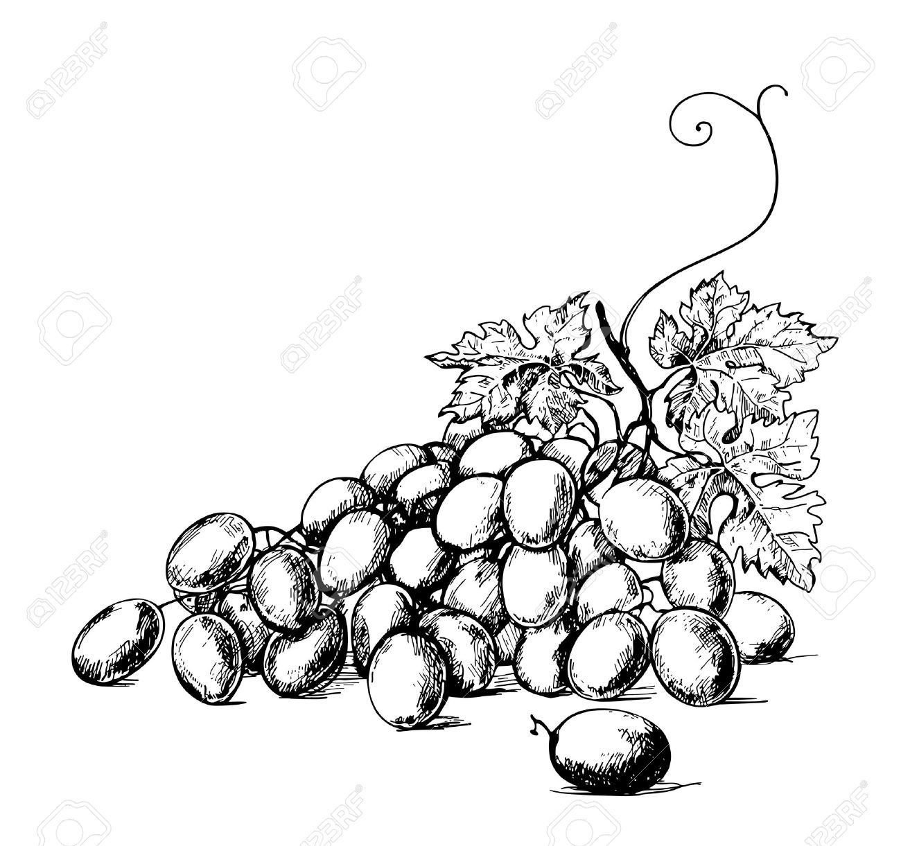 Sketch Illustration Of Bunch Of Grapes Royalty Free Cliparts Vectors And Stock Illustration Image 13549491