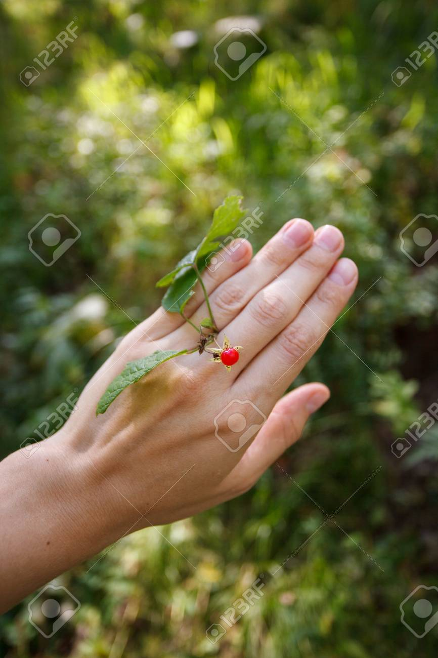 female hand tries on a red wild berries as a ring on a background
