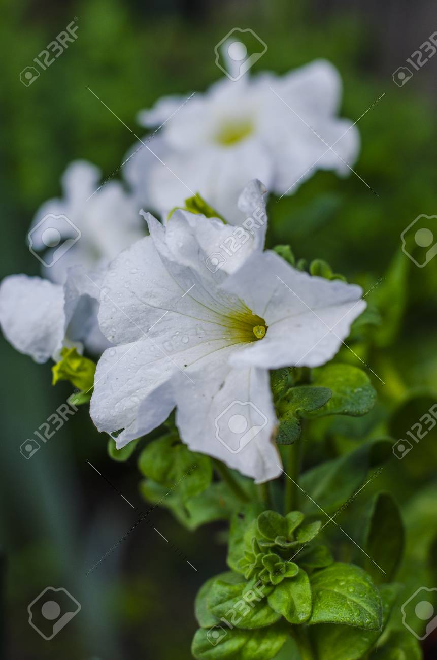 Flowers Of White Petunia In The Flowering Season In The Garden Stock