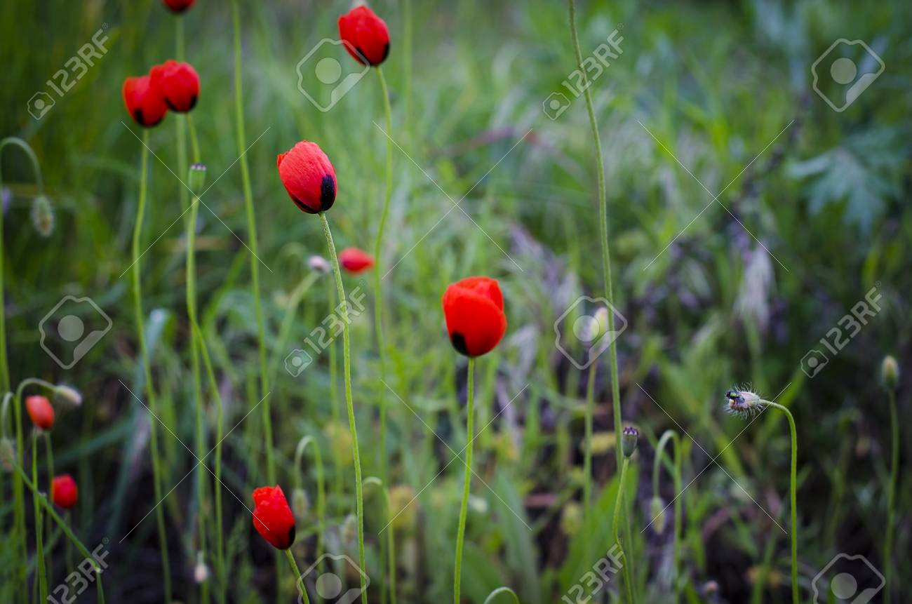 Flowers Of Small Poppy Field In Spring After Rain Stock Photo