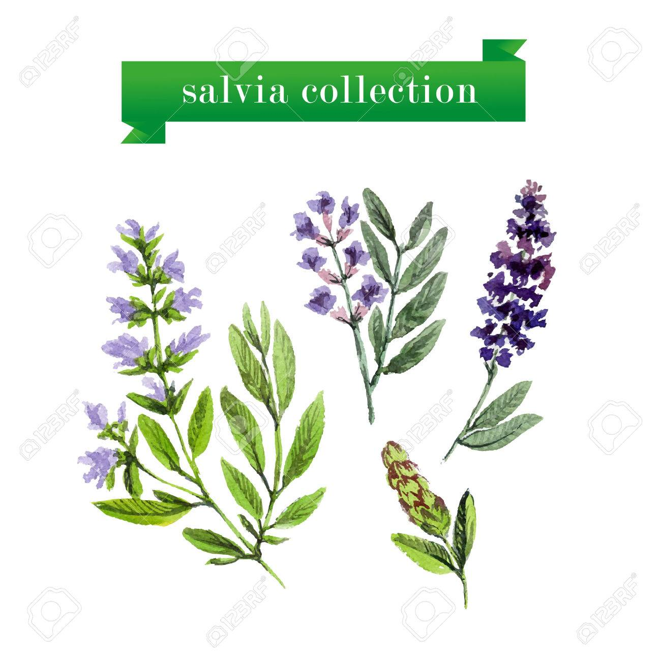 Vector set of watercolor salvia twigs on white background. Herbs design. - 46501265