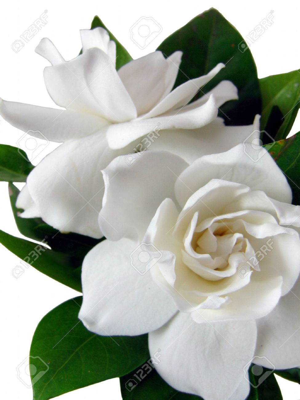 gardenia stock photos images. royalty free gardenia images and, Beautiful flower