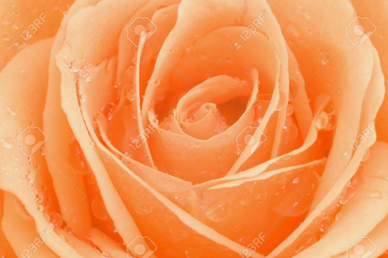 Macro photo of rose with sparkling water drops Stock Photo - 4905526