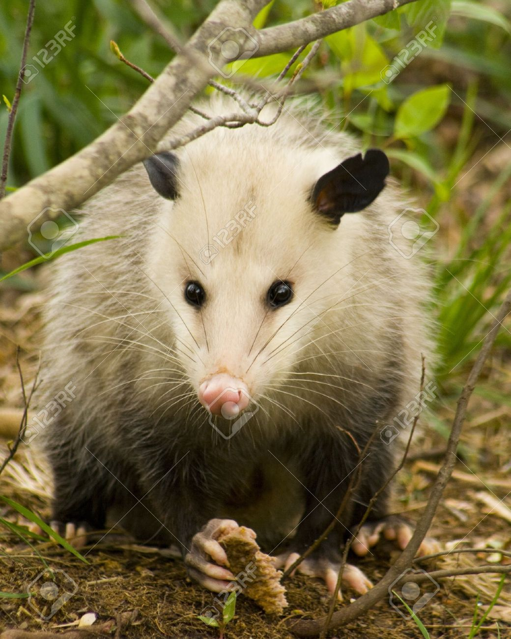 possum images u0026 stock pictures royalty free possum photos and