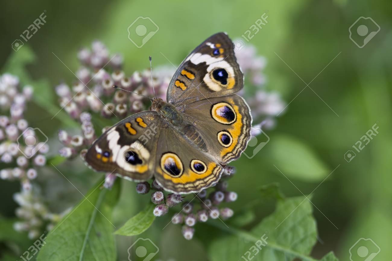 一般的なバックアイ蝶 - アメリ...