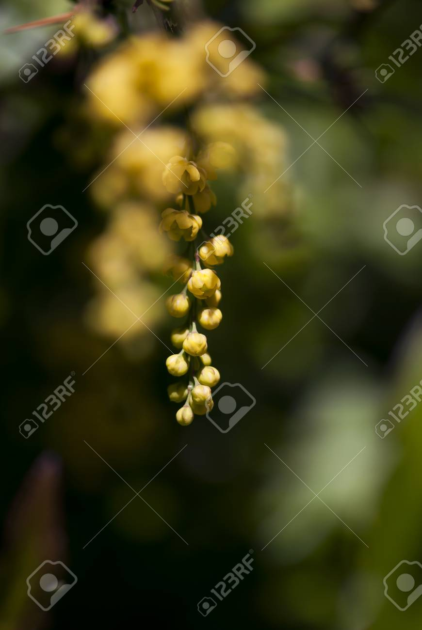 The Tiny Yellow Flowers Of A Barberry Bush Dangle Against A Deep