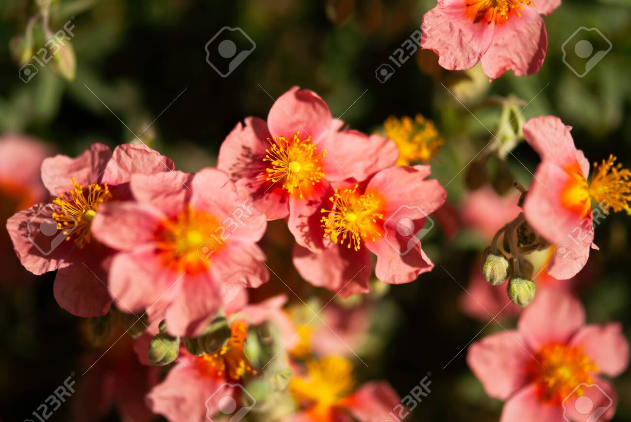 Coral Colored Flowers With Yellow Stamen Bloom In The Summer Stock Photo Picture And Royalty Free Image Image 121649384