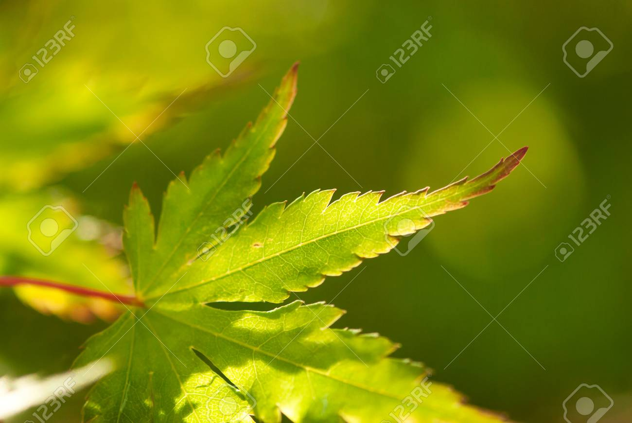 A closeup shot of a green, Japanese maple leaf lined in russet red. - 124620439