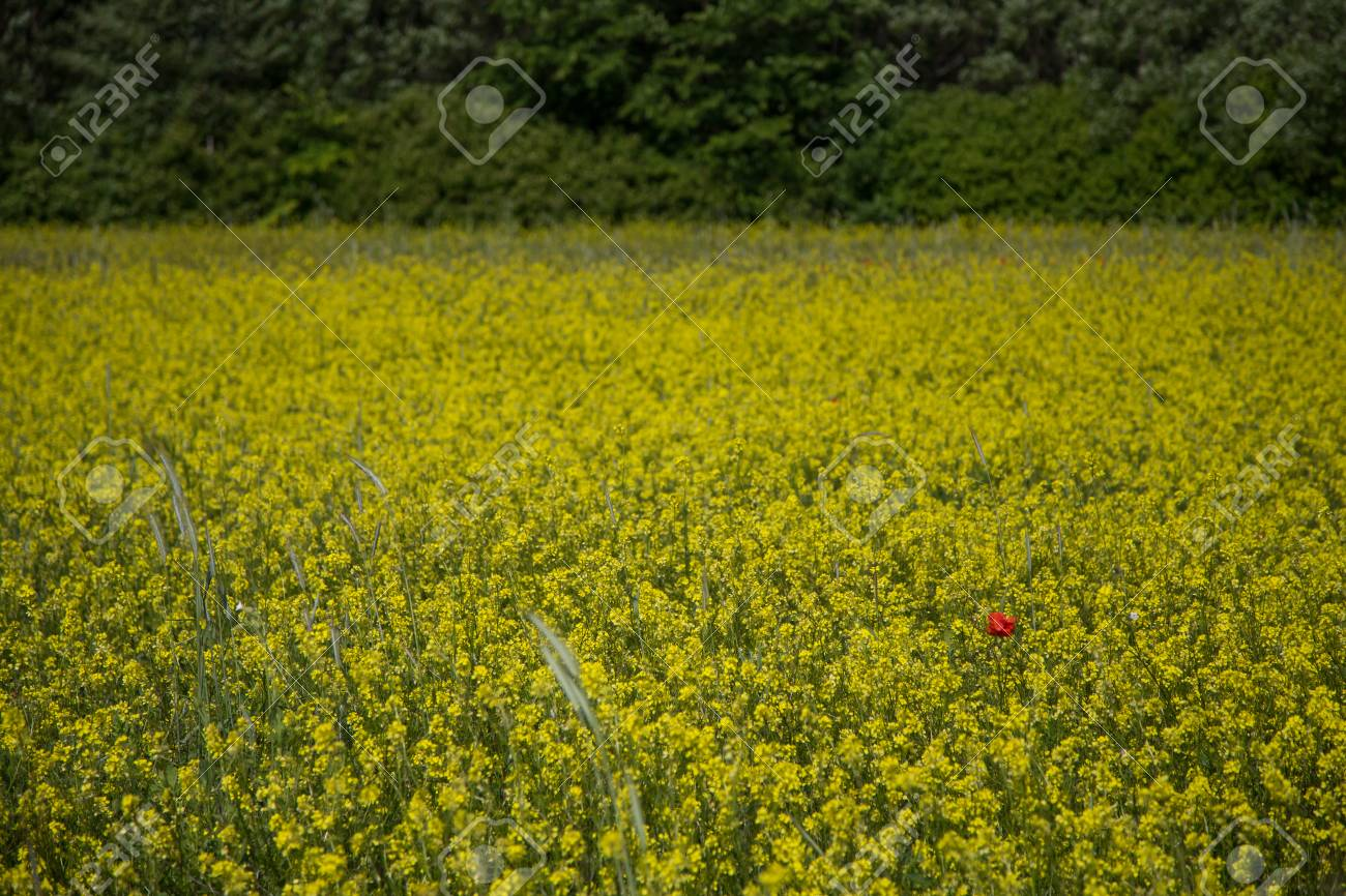 Alone Poppy Flower In A Field Of Yellow Flowers Stock Photo Picture
