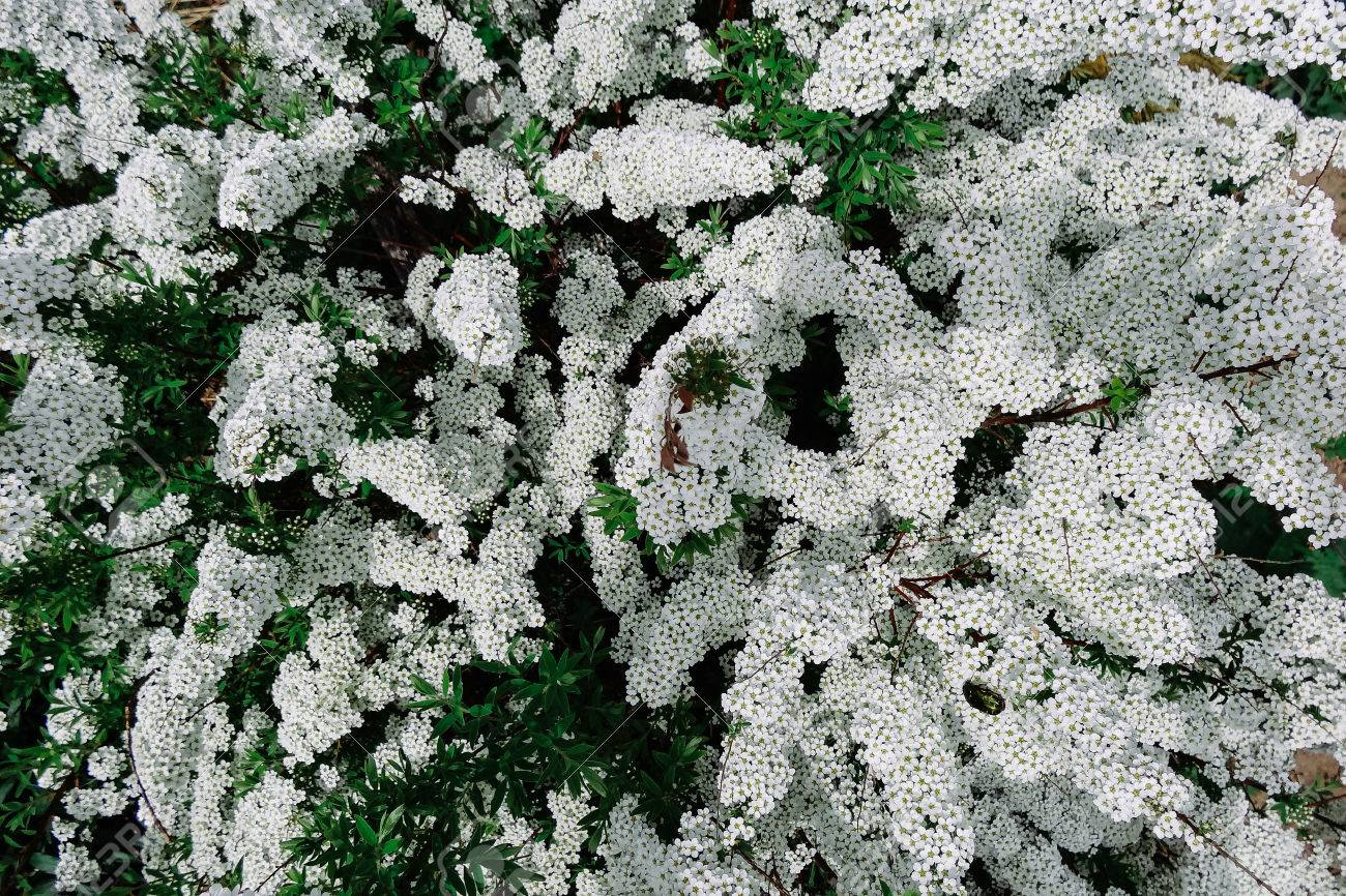 Flowering plants with small white flowers stock photo picture and flowering plants with small white flowers stock photo 59929724 mightylinksfo