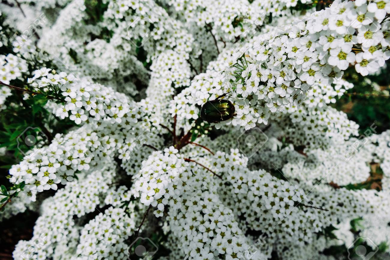 Flowering Plants With Small White Flowers Stock Photo Picture And