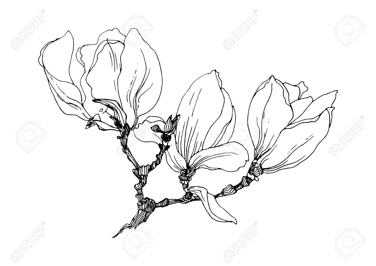 Magnolia Flowers On A Twig Black Outline On White Background