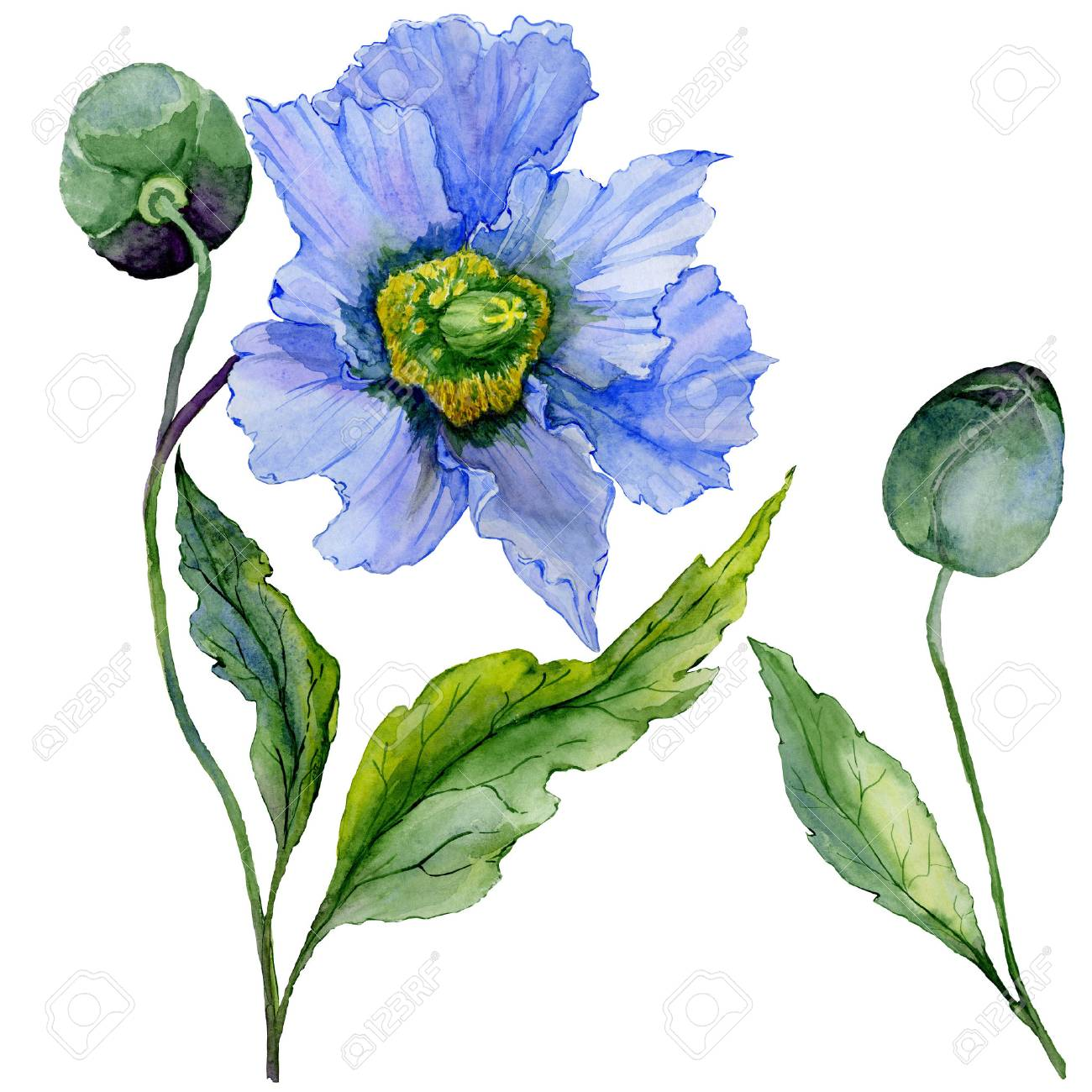 Beautiful Blue Poppy Flower With Green Leaves Set Large