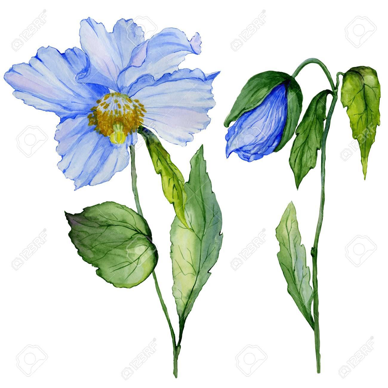 Beautiful blue poppy flower with green leaves set large beautiful blue poppy flower with green leaves set large meconopsis flower and stem with mightylinksfo