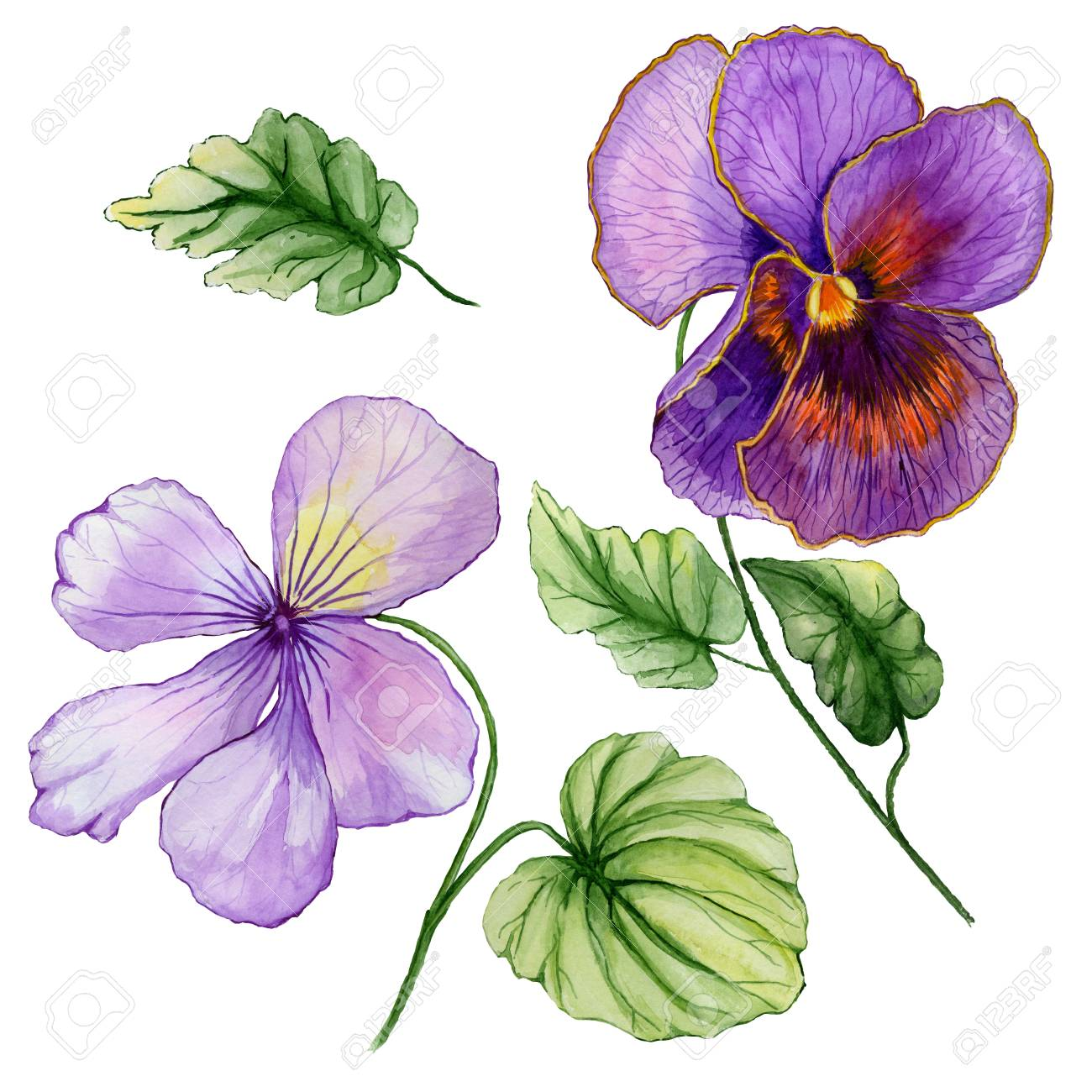 Beautiful Botanic Set Vivid Purple Viola Flowers And Leaves Stock Photo Picture And Royalty Free Image Image 98594648