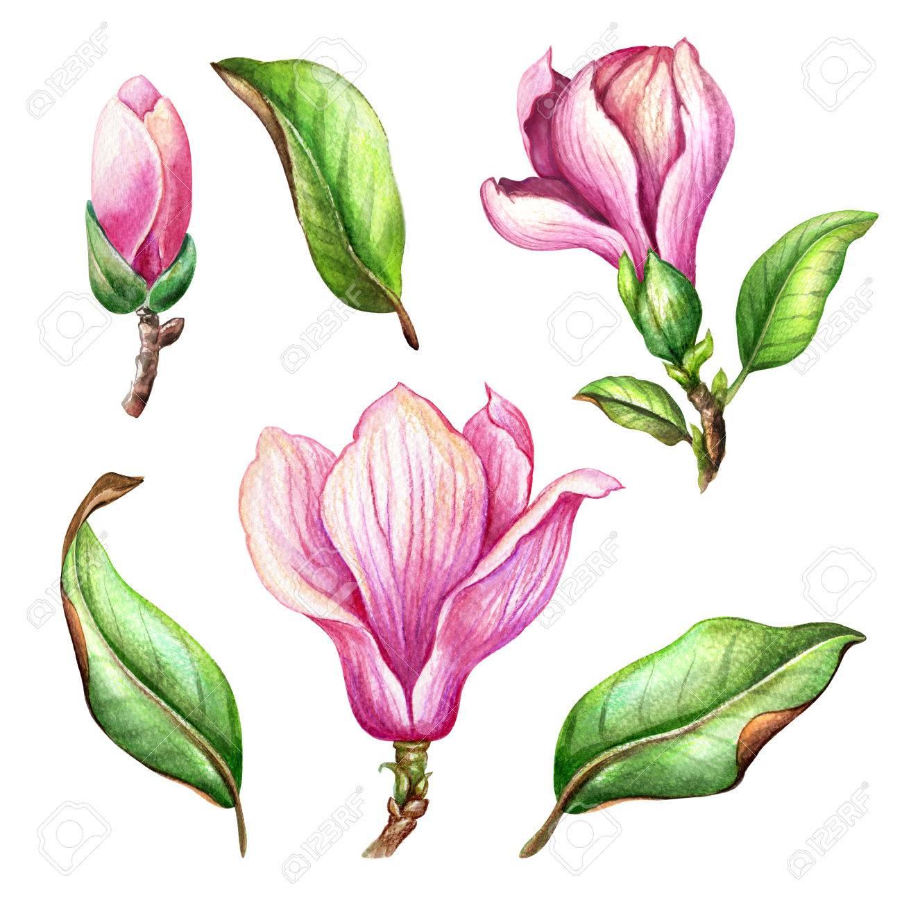 水彩イラスト ピンク マグノリアの花花のデザイン要素植物クリップ