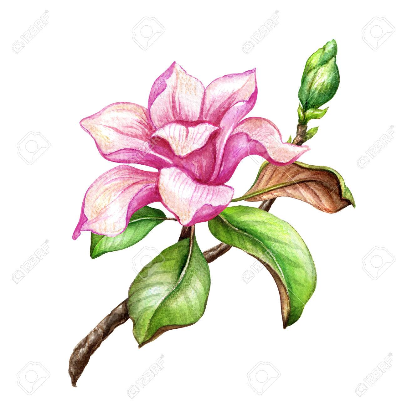 watercolor illustration pink magnolia flower floral design stock rh 123rf com magnolia clip art free magnolia market clipart