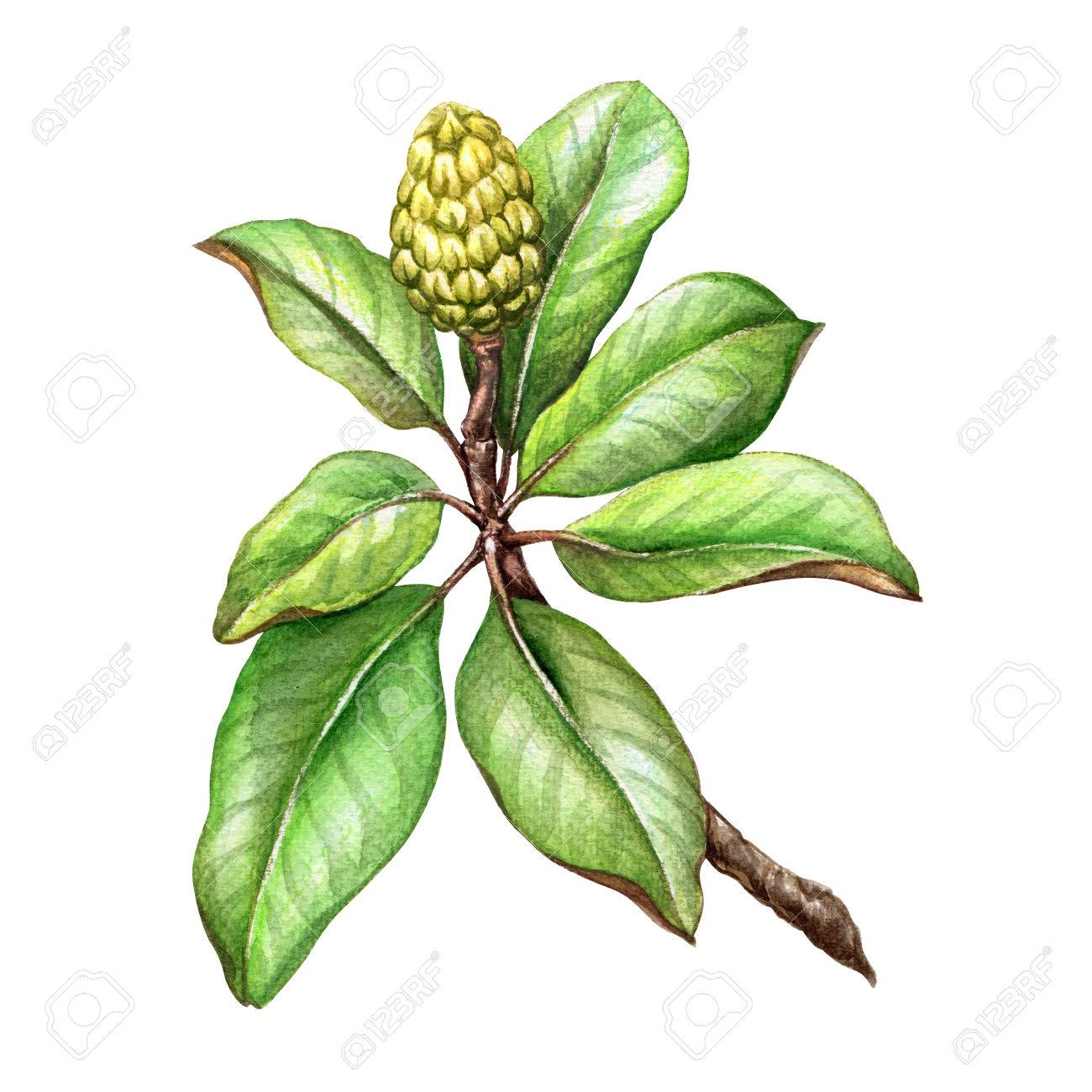 Watercolor Illustration Magnolia Tree Green Leaves Floral Stock