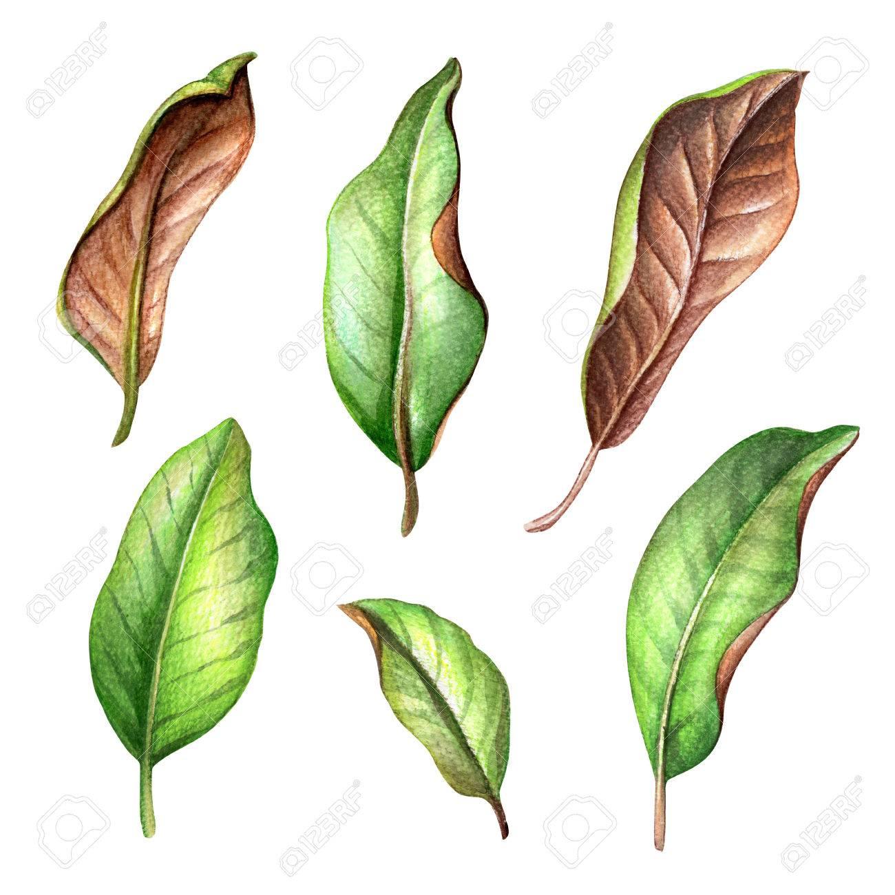 Watercolor Botanical Illustration Magnolia Tree Green Leaves