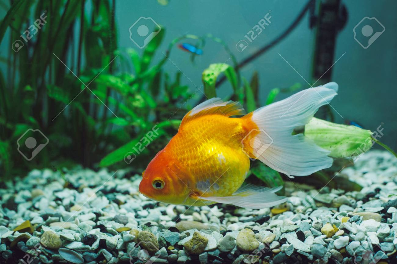 aquarium fish red parrot cichlid stock photo picture and royalty