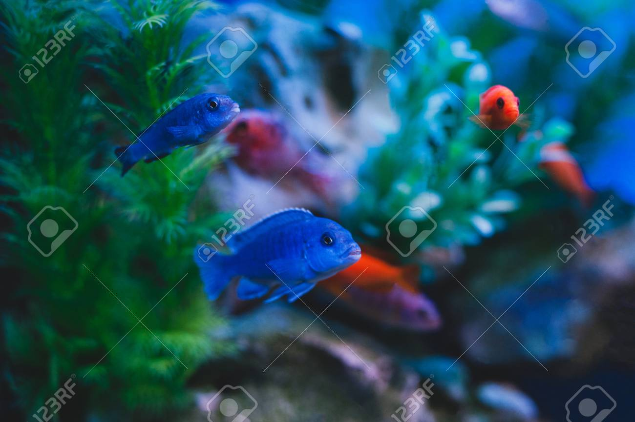 Aquarium Fish Cichlids Fish From The Family Cichlidae In The