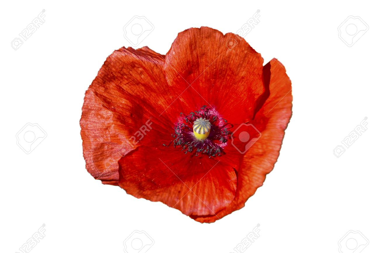 Beautiful Single Flower Head Red Poppy Isolated On White Background