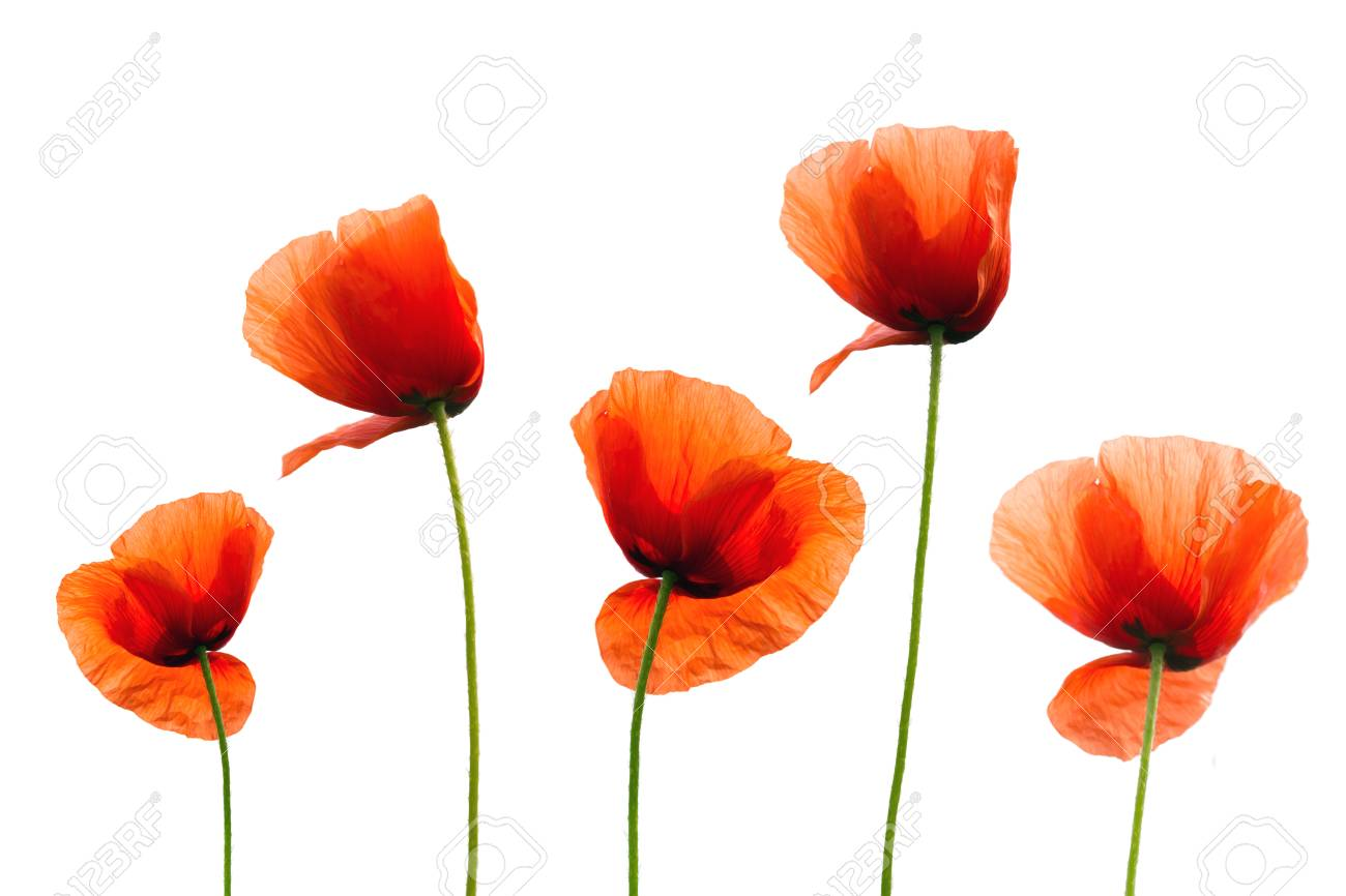 Beautiful single flowers heads  Red poppies isolated on white