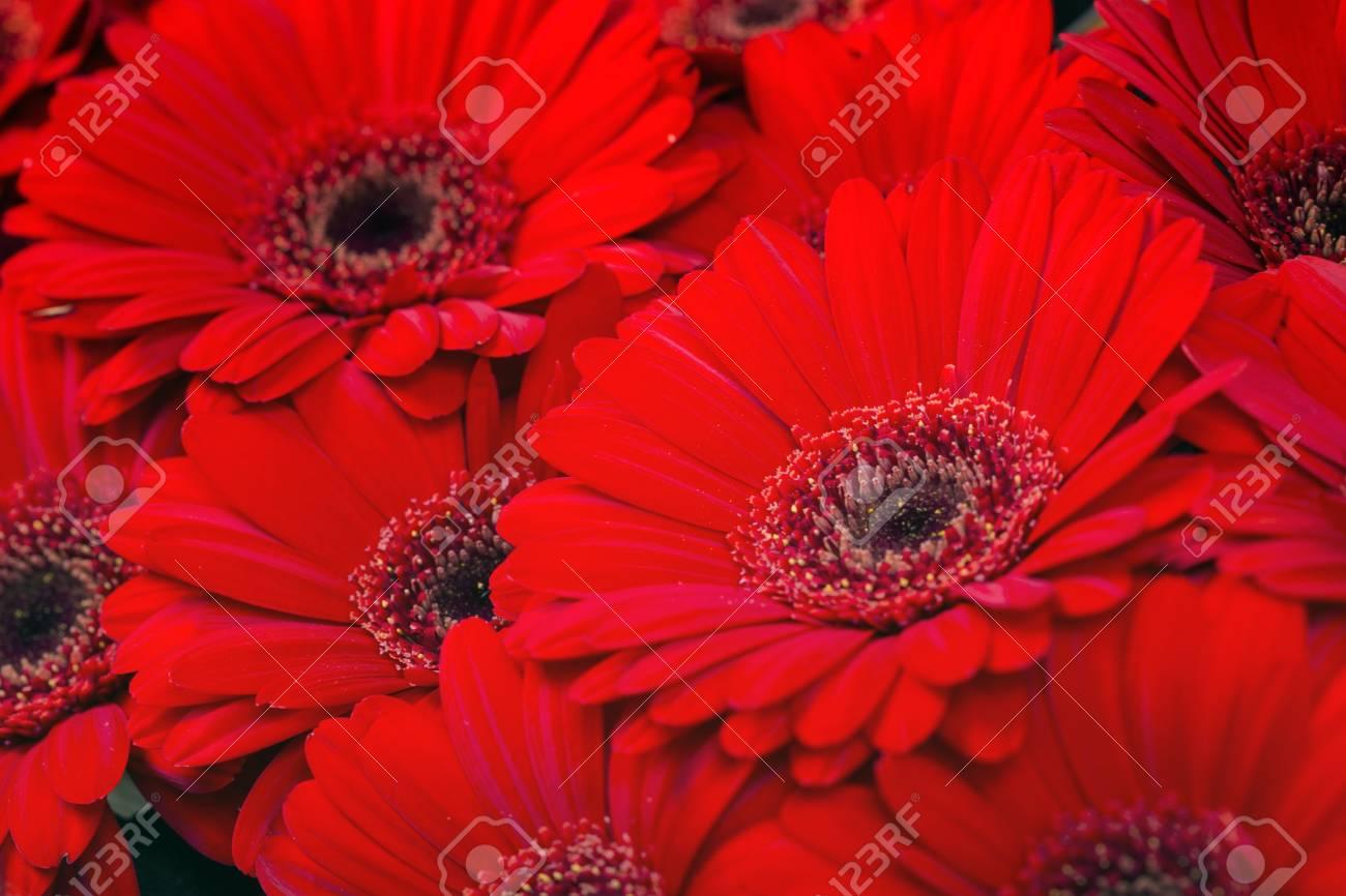 Red Gerbera Daisy Flowers Background. Macro Shot Stock Photo ...