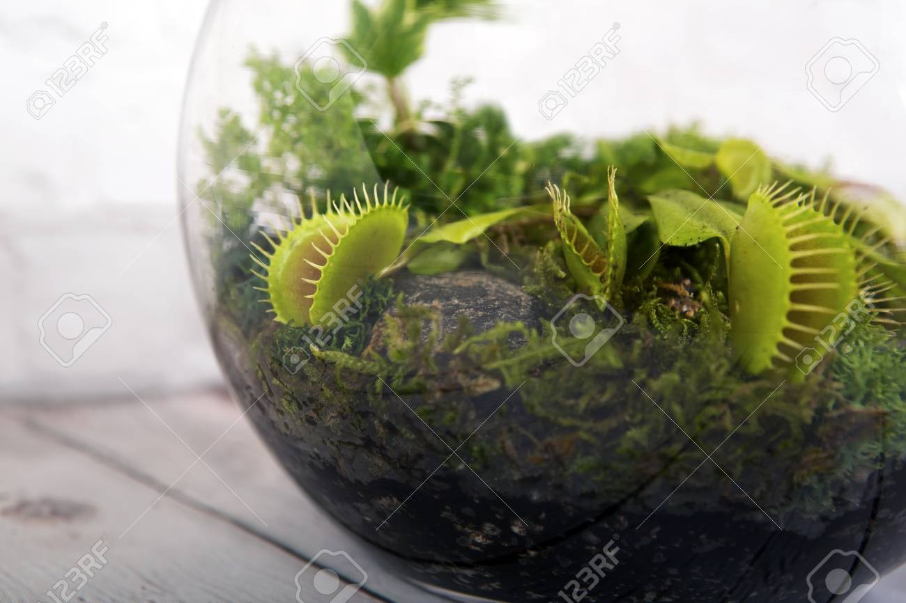 Carnivorous Venus Fly Traps Dionaea Muscipula And Sundews Drosera Stock Photo Picture And Royalty Free Image Image 125582547