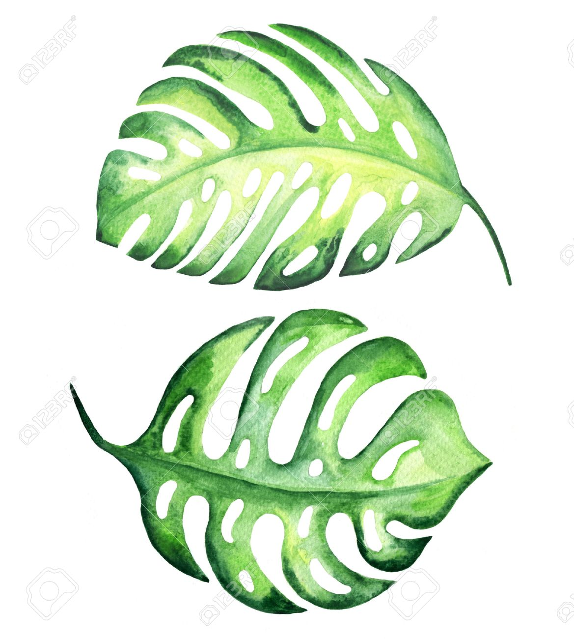 Tropical Exotic Leaves Monstera Watercolor Illustration Stock Photo Picture And Royalty Free Image Image 33036019 About 1% of these are aquatic plants. tropical exotic leaves monstera watercolor illustration