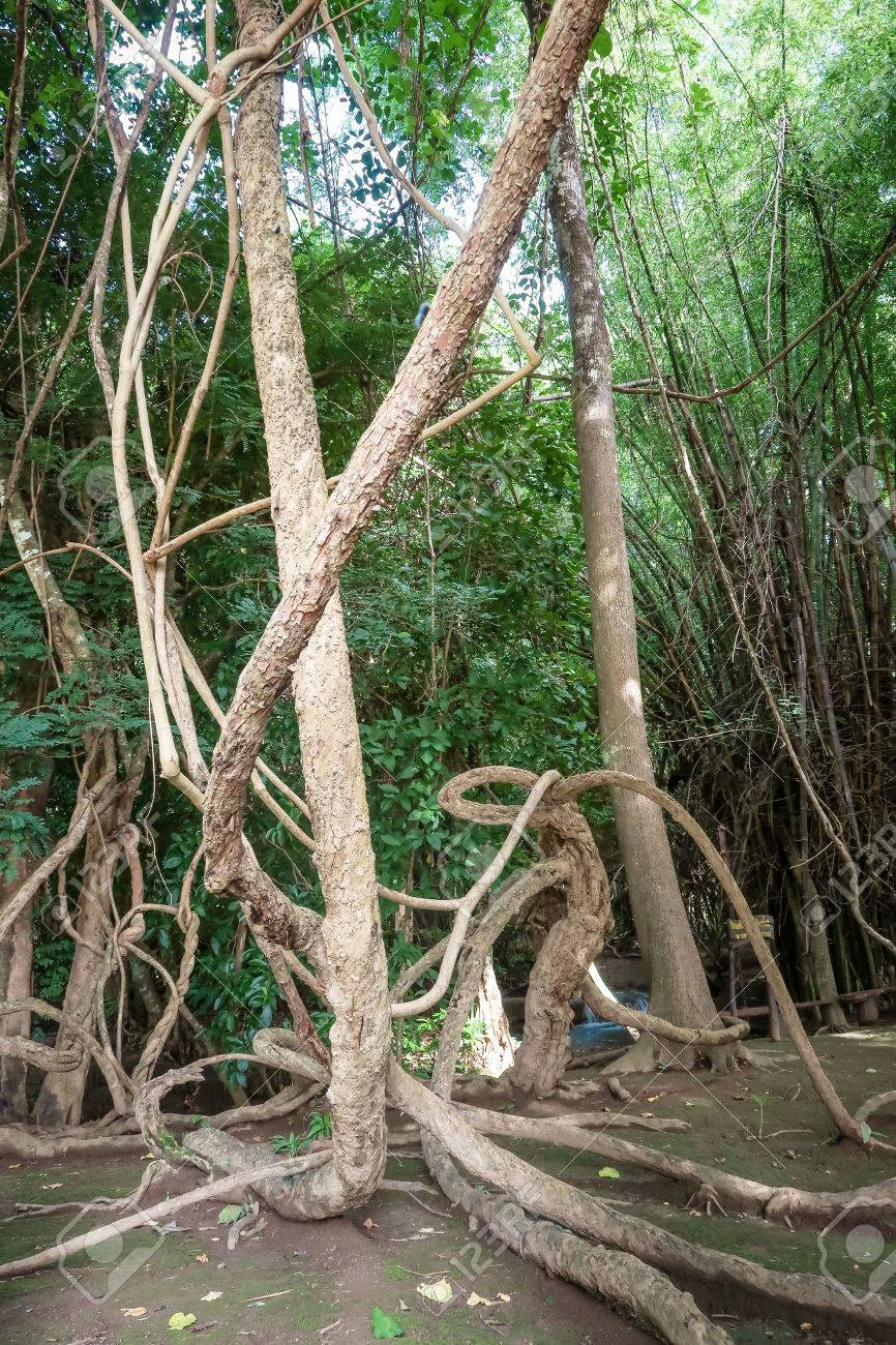 Tangled Lianas In The Jungle Stock Photo Picture And Royalty Free Image Image 81888150
