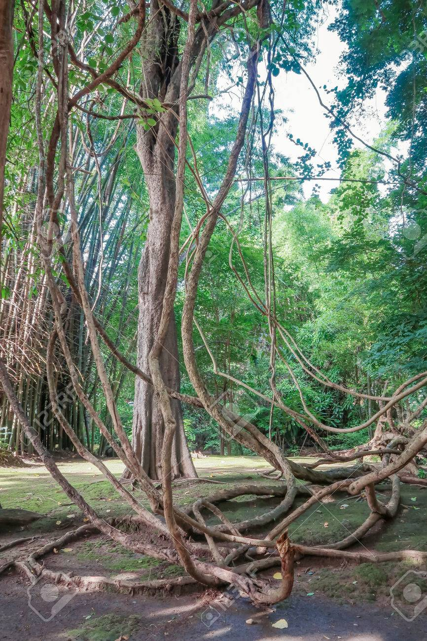 Tangled Lianas In The Jungle Stock Photo Picture And Royalty Free Image Image 81888152