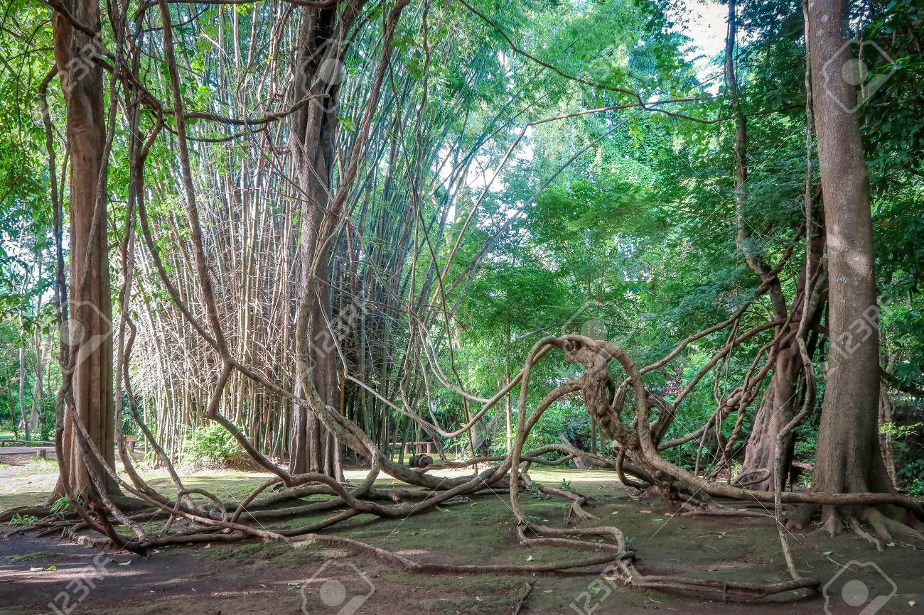 Tangled Lianas In The Jungle Stock Photo Picture And Royalty Free Image Image 81888154
